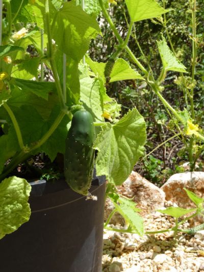 My healthy cucumber July 2012